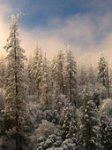 Trees with snow in the mountains (Yosemite park) — Stock Photo