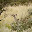 European roe deer (capreolus capreolus) hiding behind the bushes — Stock Photo