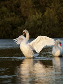 Beautiful Mute Swan stretching his wings on a small lake — Stock Photo