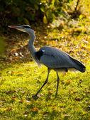 Great blue heron in an autumn landscape — 图库照片