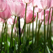 Huge pink tulips — Stock Photo