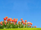 Vivid tulips with a clear blue sky — Photo