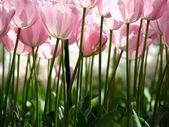 Ogromne różowe tulipany — Zdjęcie stockowe