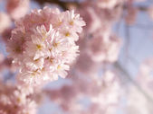 Vivid pink cherry blossom in the spring — Stockfoto