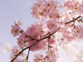 Vivid pink cherry blossom in the spring — Stock Photo