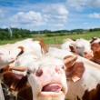 Funny close up of a cow grazing in a field in the summer — Stock Photo #45704797
