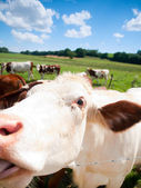 Funny close up of a cow grazing in a field in the summer — Stock Photo