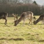 Deers Grazing — Stock Photo #36894137