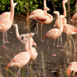 Flamingos — Stock Photo #36894175