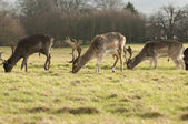 Deers Grazing — Stock Photo