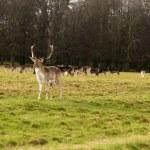 Deer — Stock Photo #37003589