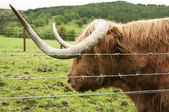 Highland Cattle — Stockfoto