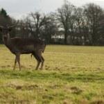 Deer — Stock Photo #38312227