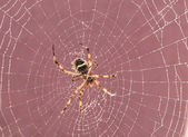 Spider on cobweb — Stock Photo