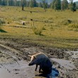 Pig in mud — Stock Photo