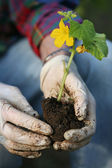 Hands planting plant — Stock Photo