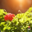 Red geranium flower — Stock Photo #32420145