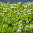 Stock Photo: Clover flower field