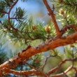 Pine tree detalj — Stockfoto
