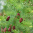 Stock Photo: Pine tree cones