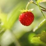 Wild strawberry — Stock Photo