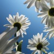 White daysies over blue sky — Stock Photo