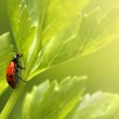 Ladybug on parsley grass. — Stock Photo #32421715