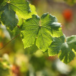 Stock Photo: Grape leaves