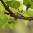 Green leaves on tree branch — Stock Photo #32421807