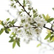 Blooming white flowers — Stock Photo #32421825