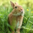 Rabbit in green grass — Stock Photo