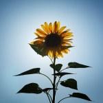 Sunflower over sun — Stock Photo