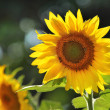 Sunflowers — Stock Photo #32424789