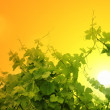 Grapevine over sunset sky — Stock Photo