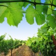 Stock Photo: grapevine plants in napa valley