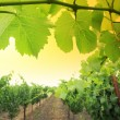 Grapevine plants — Stock Photo