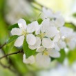 White flowers blooming — Stock Photo
