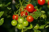 Ripe tomatoes growing — Stock Photo