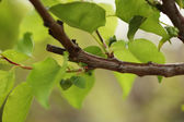 Green leaves on tree branch — Stock Photo