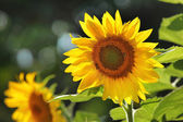 Sunflowers — Stock Photo