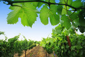 Grapevine planten in napa valley — Stockfoto