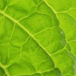 Fresh salad leaf — Stock Photo #32909279