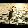 Heron silhouette over water at sunset — Stock Photo