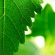 Stock Photo: Grape leaves background