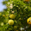 Blossoming citrus tree with fruits and flowers — Stock Photo