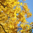 Yellow autumn leaves  — Stock Photo