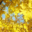 Yellow autumn leaves — Stock Photo #32907291