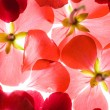 Stock Photo: Backlit Red Flower Petals