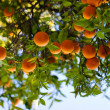 Stock Photo: Ripe Oranges On A Tree