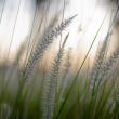 Stock Photo: Grass close-up
